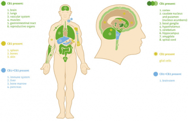 Czym jest układ Endokannabinoidowy?
